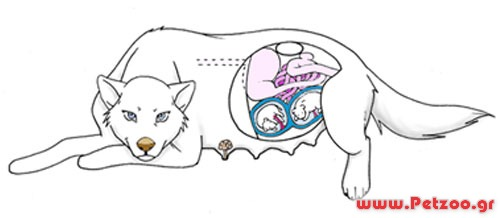 Εγκυος σκύλος