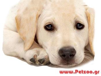 εκζεμα στο σκύλο