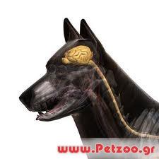 επιληψία στο σκύλο