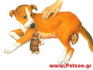 Γέννα της σκύλας