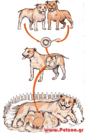 ποιες είναι οι γόνιμες ημέρες του σκύλου