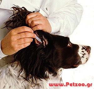 πως να καθαρίζω τα αυτιά του σκύλου
