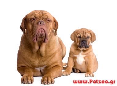 να διαλέξω κουτάβι η ενήλικο σκύλο