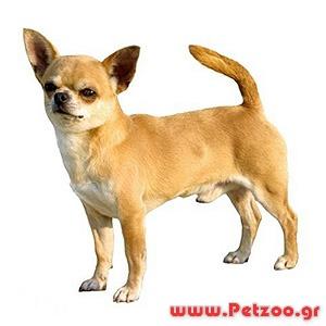 μικρόσωμος σκύλος ζει πιο πολλά χρόνια