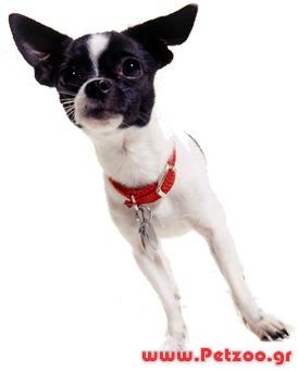 μινιγγίτιδα σκύλου