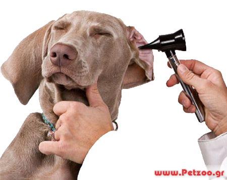 ωτίτιδα στο σκύλο