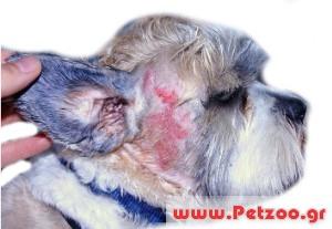 πυοδερματίτιδες στο σκύλο