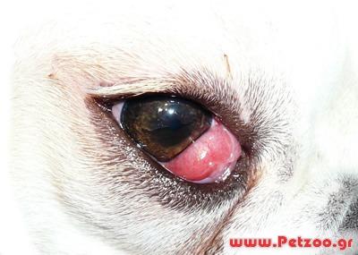 πρόβλημα με τα μάτια του σκύλου