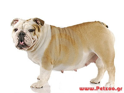 Σκύλος και εγκυμοσύνη