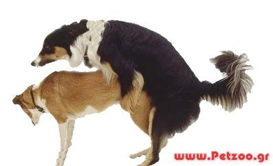 ζευγαρωμα του σκύλου